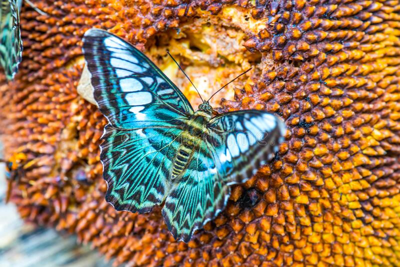 Lovely butterfly on the fruit. Thailand stock photography