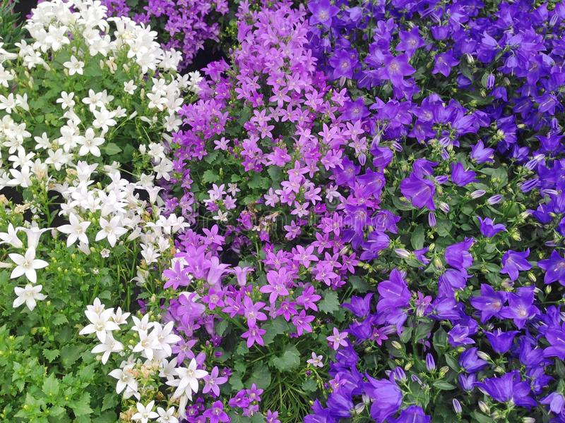 Lovely Campanula flowers in white, purple and violet-blue colors stock photo