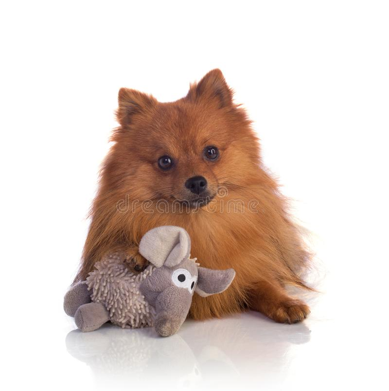 Lovely caramel-colored pomeranian with elephant stuffed royalty free stock images
