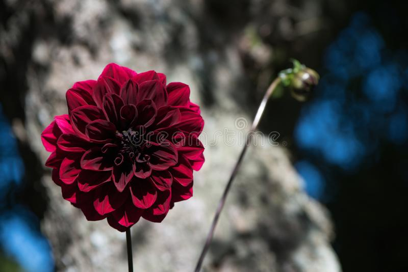 Lovely Carmine Dark Red Arabian Night Dahlia or Decorative Dahlia on a garden. Gentle movements under the summer breeze stock photography