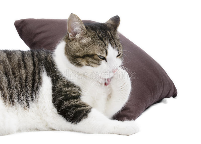 Download Lovely Cat Cleaning Itself On White Isolated Background Stock Photo - Image: 28401308