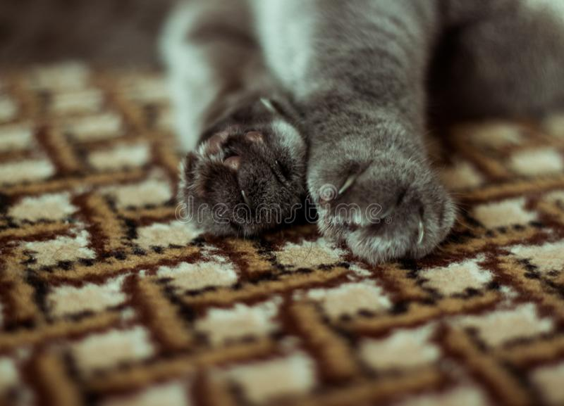 Lovely cat feet. A cat is playing with a man. She`s trying to scratch royalty free stock photography