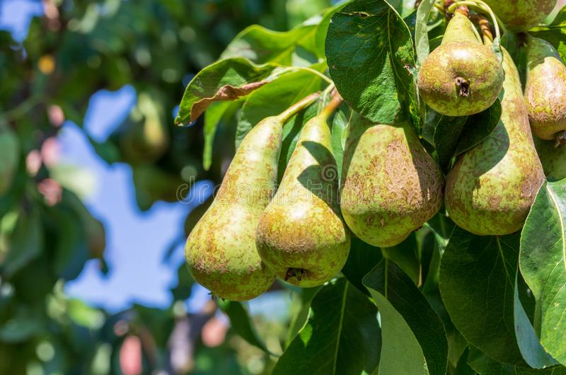 Lovely cluster of conference pears Conference - Pyrus communis ripening in pear tree fruit tree. Sunny summer day Space to insert your text royalty free stock photos