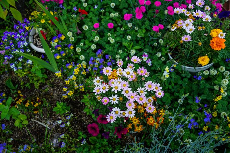 Lovely colorful blooming little spring flowers top view with green leaves and soil background. Yufuin, Japan stock photos
