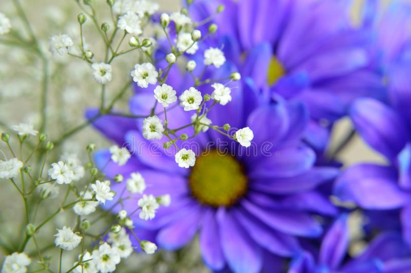 Download Baby`s Breath On Blue Daisy Flowers Stock Image - Image of daylight, closeup: 105264865