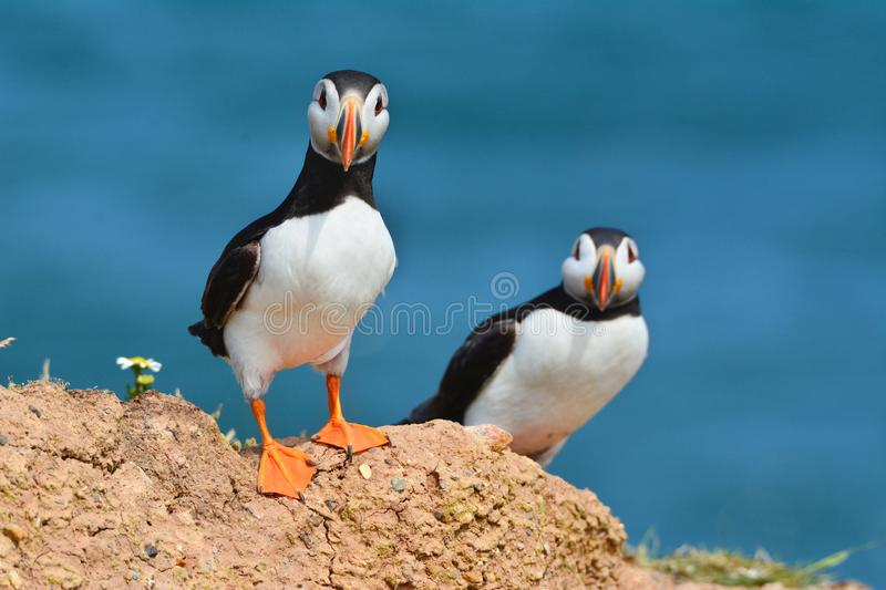 A Lovely couple puffins. In Flamborought , RSPB Bempton Cliffs stock images