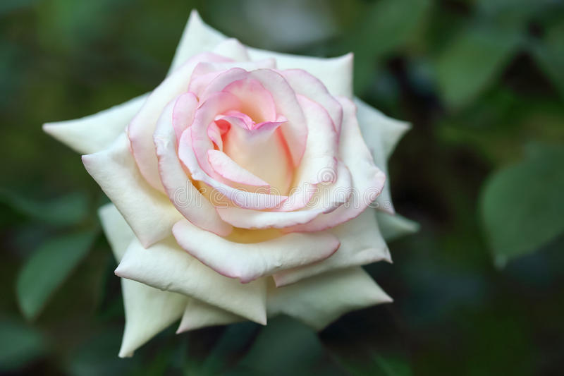 Lovely cream colored rose. macro royalty free stock image