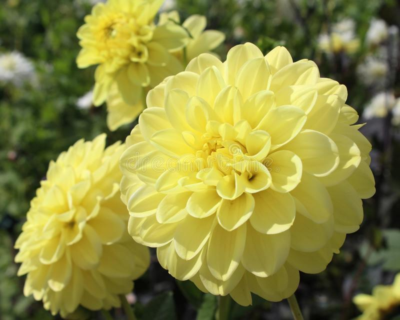 Lovely Creamy Yellow Dahlia stock images