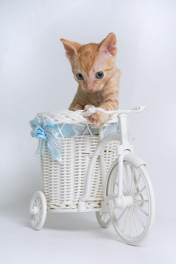 Lovely curly kitten Ural Rex sits in a toy bike basket and looks down isolated on a white background. Color Red royalty free stock images