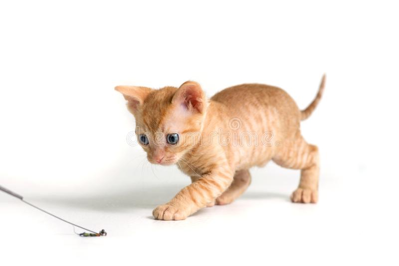 Lovely curly kitten Ural Rex sneaks behind the toy and prepared to jump, isolated on a white background. Red color royalty free stock photo