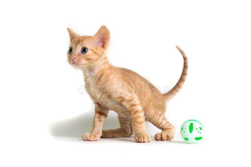 Lovely curly kitten Ural Rex turned away from the toy and prepares to jump  on white background. Color Red royalty free stock photography