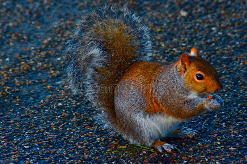 A pretty grey and brown squirrel royalty free stock photography