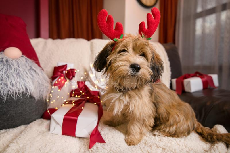 Lovely, cute puppy with reindeer antlers royalty free stock images