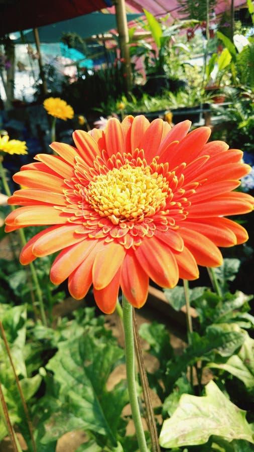 The lovely daisy. The lovely. Flower, daisy, plant stock image