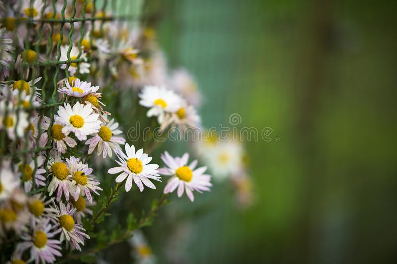 Daisyflowers with lush green background royalty free stock image
