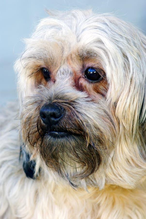 Download Lovely dog stock image. Image of happy, frise, glad, devoted - 17010001