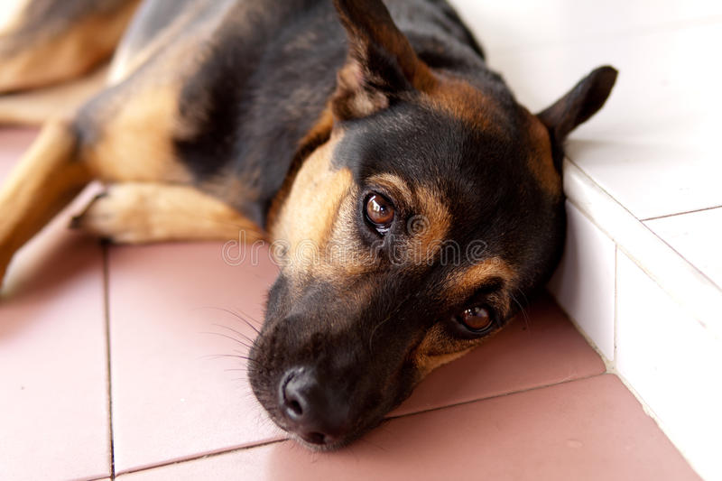Lovely dog. A crossbred German Shepherd dog lazing on the front porch royalty free stock photos