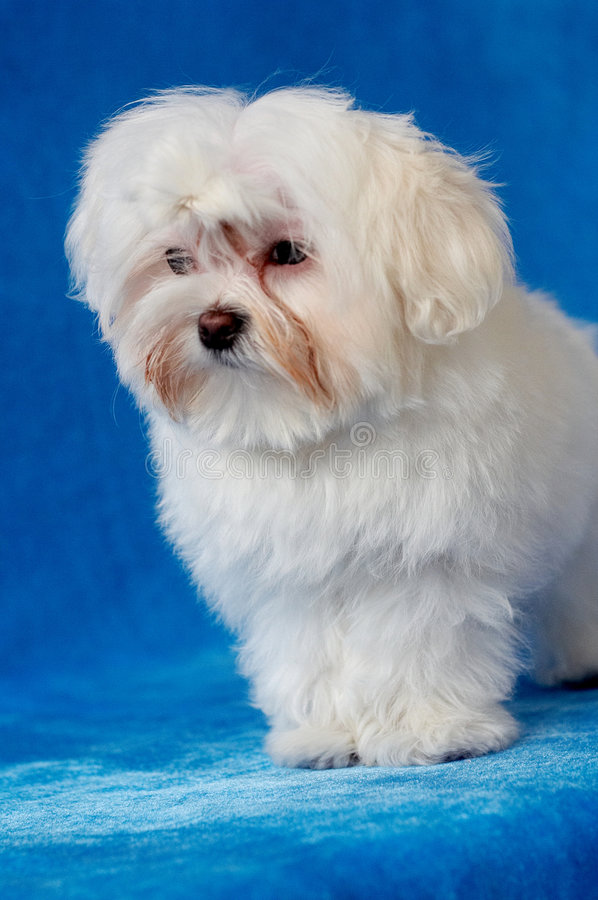 Lovely dog. White lovely pet dog with blue background,poodle breed royalty free stock photos