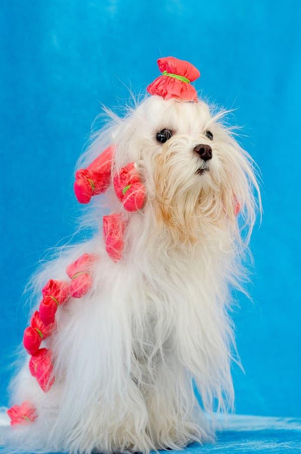 Lovely dog. White lovely pet,poodle breed royalty free stock photo