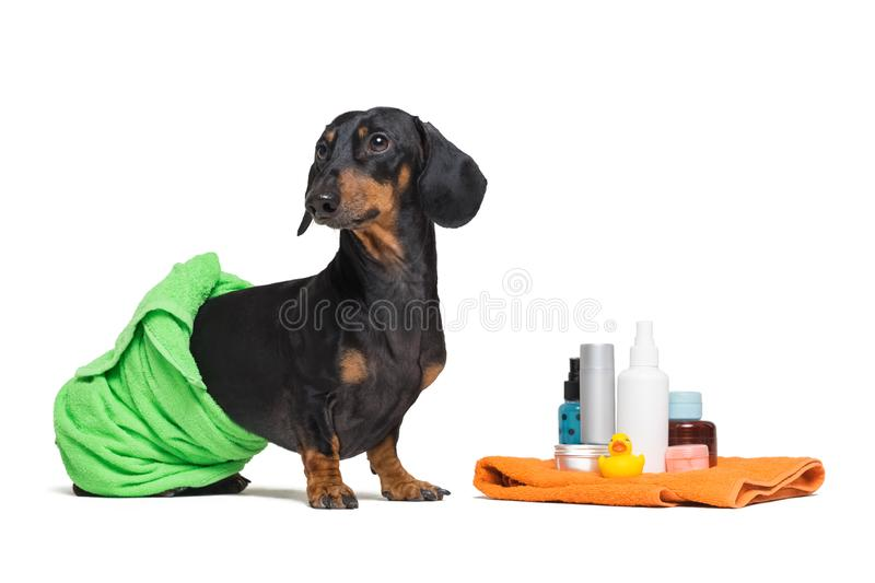 Lovely dog dachshund, black and tan, wrapped in a green towel, after showering with a rubber yellow duck, cans of shampoo, bathroo royalty free stock images