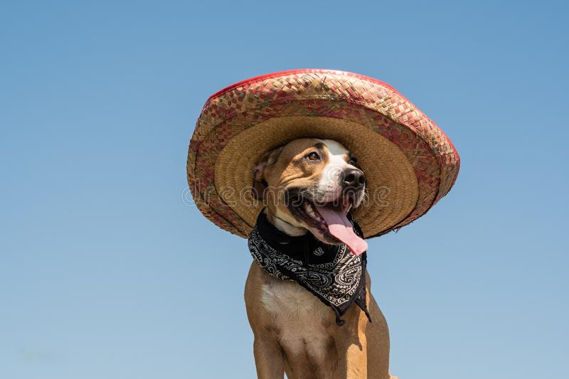Lovely dog in mexican hat as a western style bandit of gangster. Cute funny staffordshire terrier dressed up in sombrero hat as mexico festive symbol or for royalty free stock image