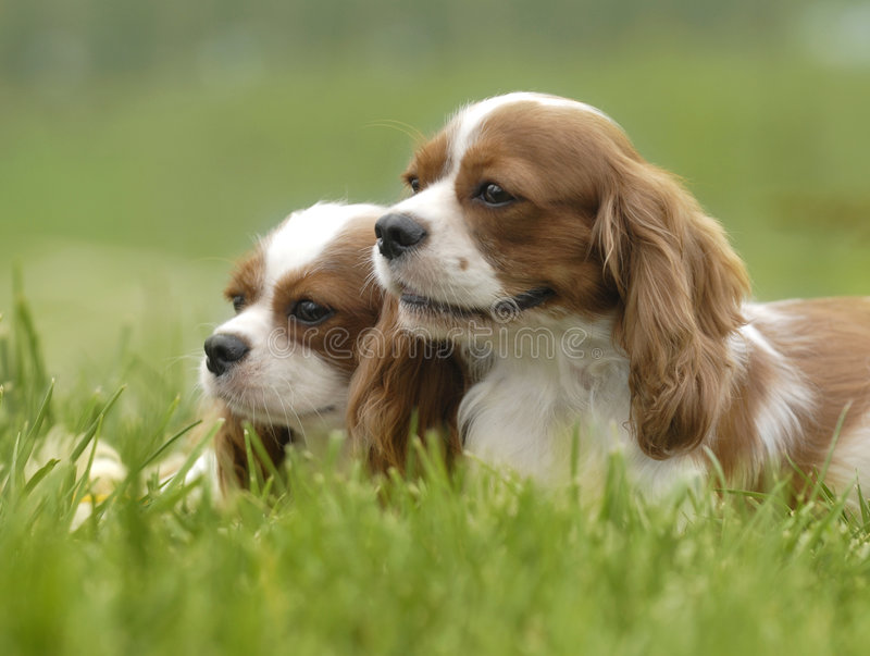 Lovely dogs. Two lovely King Charles Cavalier Spaniels cuddling in the grass