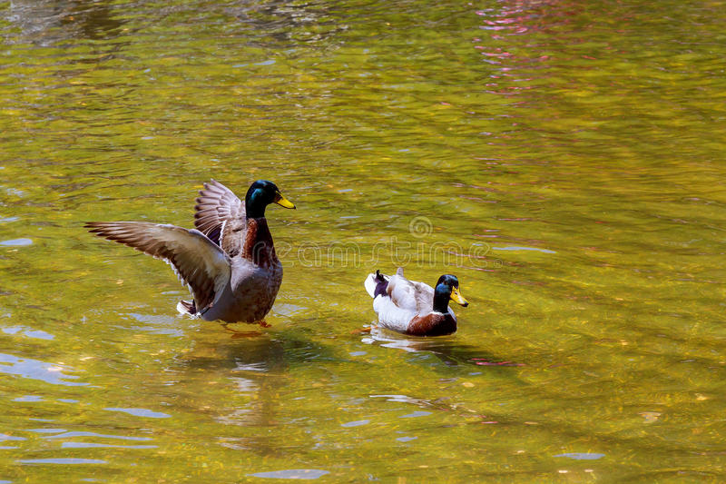 Lovely Duck swimming. Nature lake background. stock image