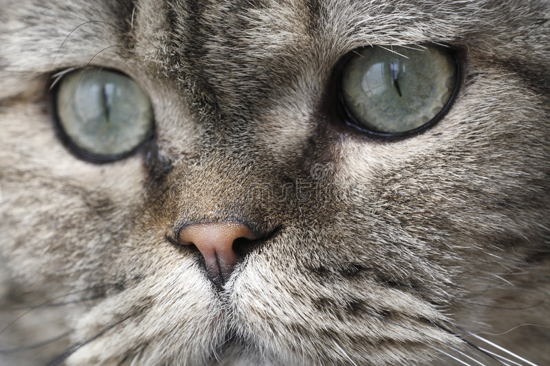 Download Lovely face of the cat. stock photo. Image of spirit, changeable - 4478662