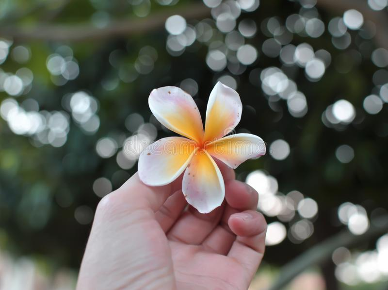 Lovely flowers and nice bokeh. Plumeria flowers with lovely bokeh stock images