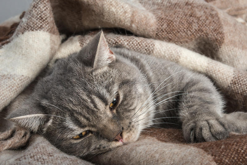Lovely fluffy cat sleeps in plaid. Lovely kitten in the loving owner's hands stock image