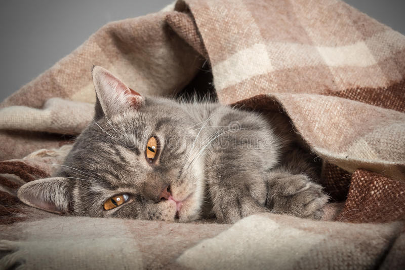 Lovely fluffy cat sleeps in plaid. Lovely kitten in the loving owner's hands royalty free stock images