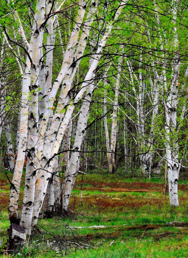 A Walk In The White Birches. A lovely forest of white birch trees in Ontario, Canada stock photography