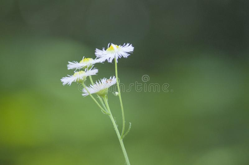 Small wild chrysanthemum Daisy plant flowers royalty free stock photo