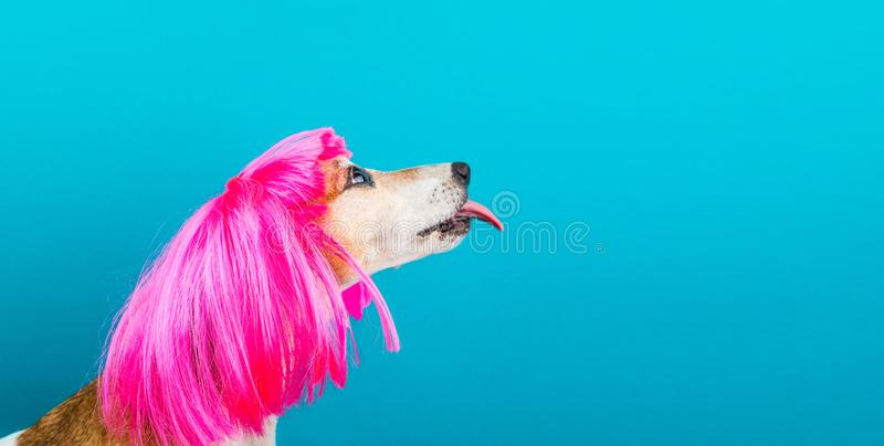 LOvely funny dog in bright pink wig with tongue licking. Blue background. Fashion and fun. LOvely funny dog pet in bright pink wig with tongue licking. Blue stock photo