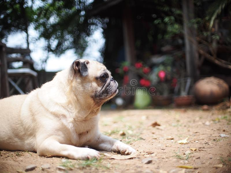 Lovely funny white cute fat pug dog portraits close up. Relaxing making funny face selective focus under natural sunlight outdoor blur home garden environment royalty free stock photo