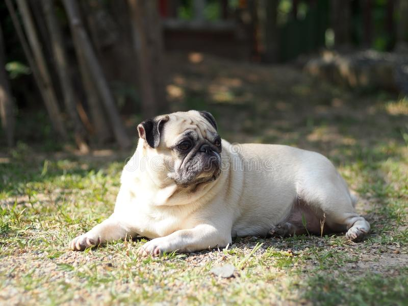 Lovely funny white cute fat pug dog portraits close up. Relaxing making funny face selective focus under natural sunlight outdoor blur home garden environment royalty free stock images