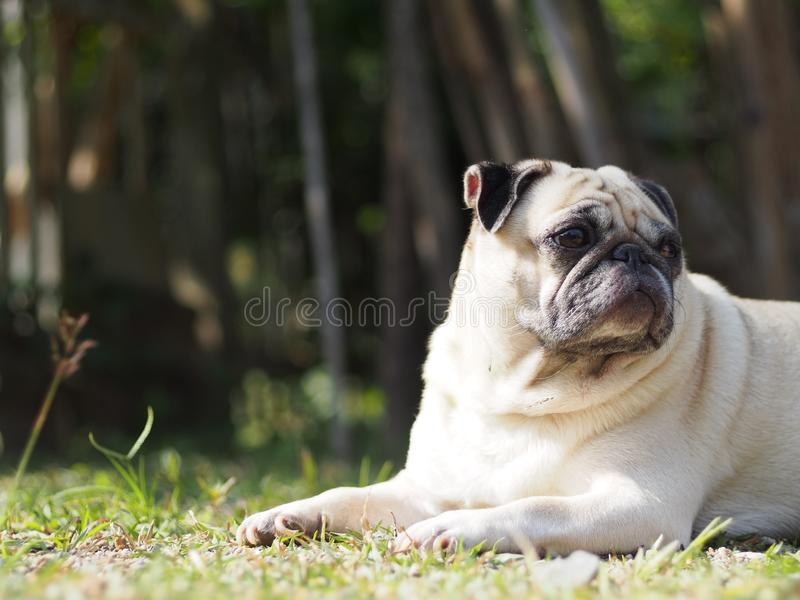 Lovely funny white cute fat pug dog portraits close up. Relaxing making funny face selective focus under natural sunlight outdoor blur home garden environment stock photos