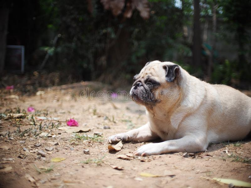 Lovely funny white cute fat pug dog portraits close up. Relaxing making funny face selective focus under natural sunlight outdoor blur home garden environment stock photography