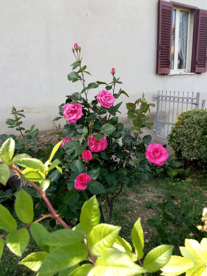 Lovely garden with leaves and pink roses near a little house! stock photos