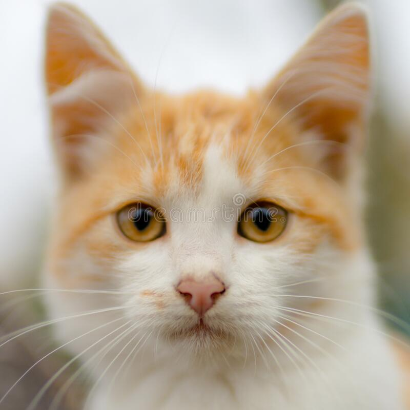 Lovely ginger white kitten face portrait with big eyes.  stock photos