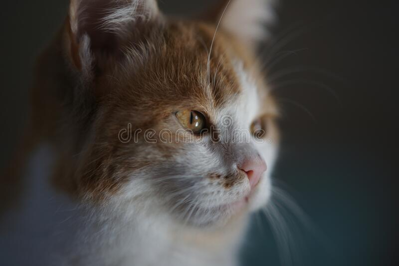 Lovely ginger white kitten face portrait closeup.  stock photos