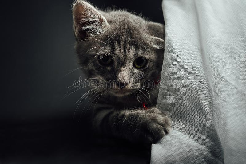 A lovely gray haired kitten that is on a black background.  stock photography
