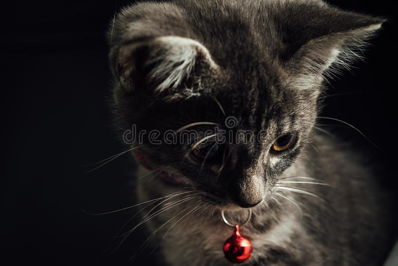 A lovely gray haired kitten that is on a black background royalty free stock photography