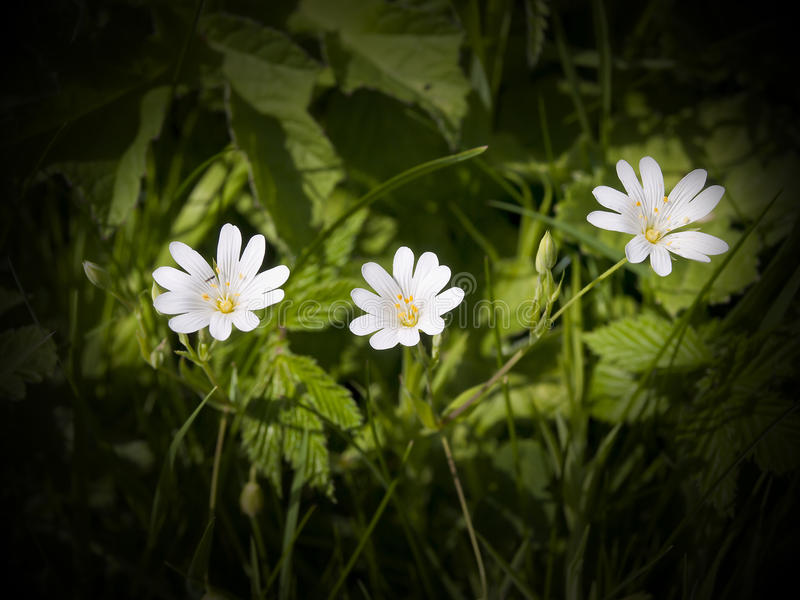 Download The Lovely Greater Stitchwort Stock Photography - Image: 17251422