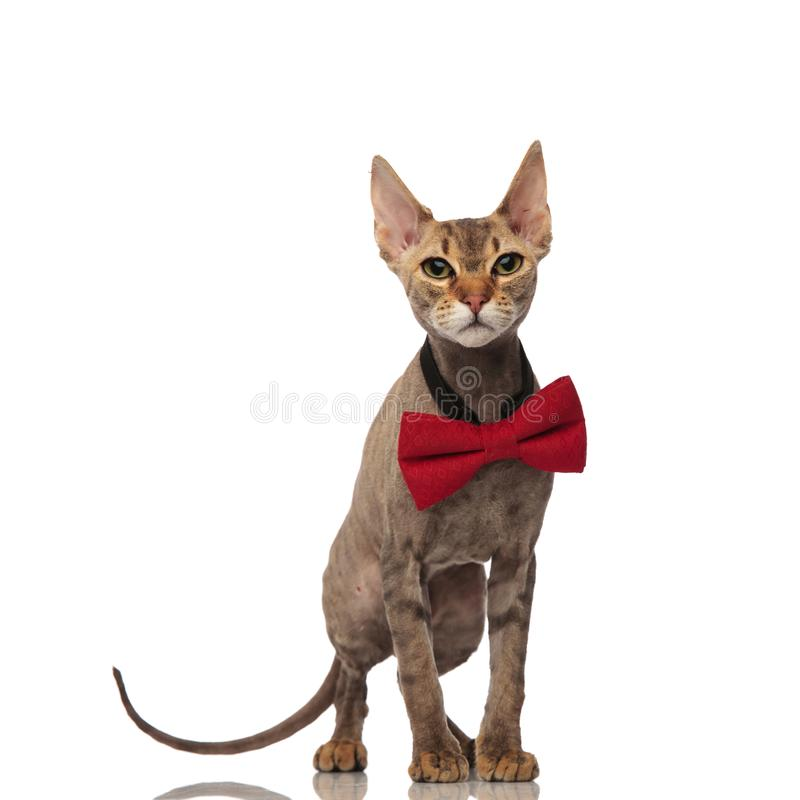 Lovely grey cat wearing a red bowtie stands stock photo