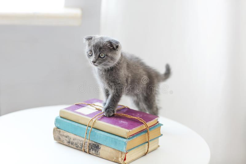 Lovely grey scotish kitten sitting on the pile of books in the l. Iving room in moving day stock photography