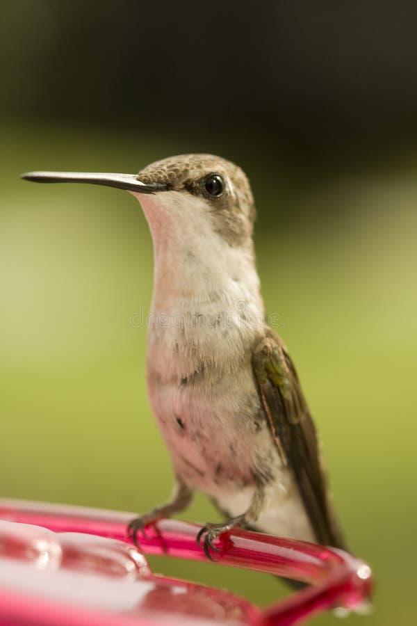 Lovely Hummingbird stock photos