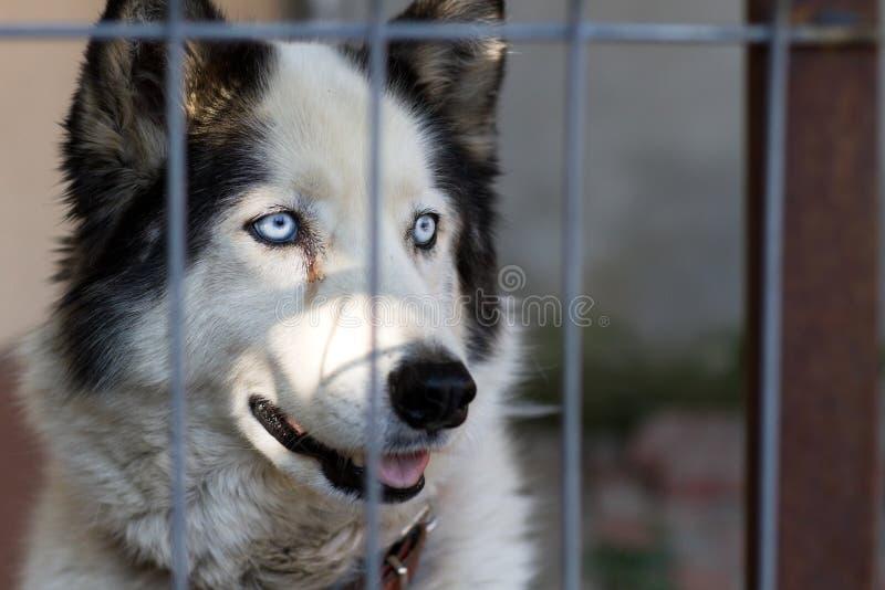 Lovely husky dog royalty free stock images