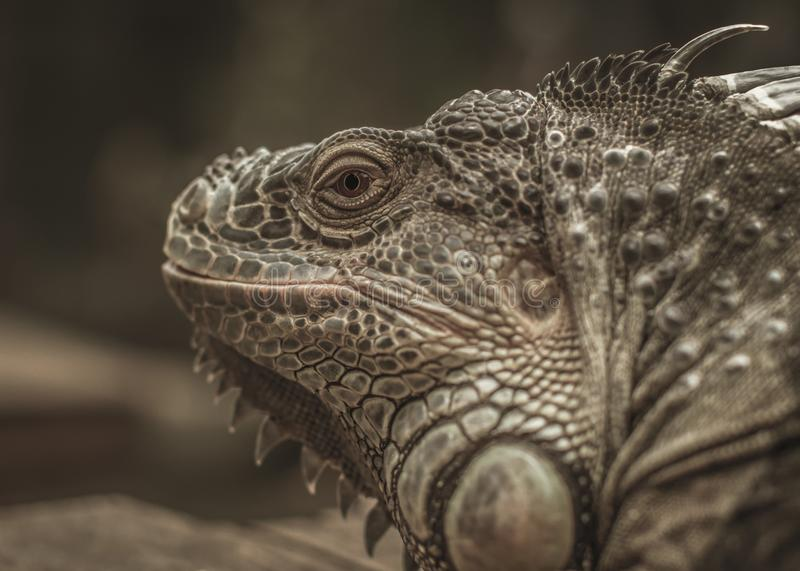Good looking Iguana picture. Lovely Iguana enjoy the warm day sun baking and have a nice posed to the camera royalty free stock photo