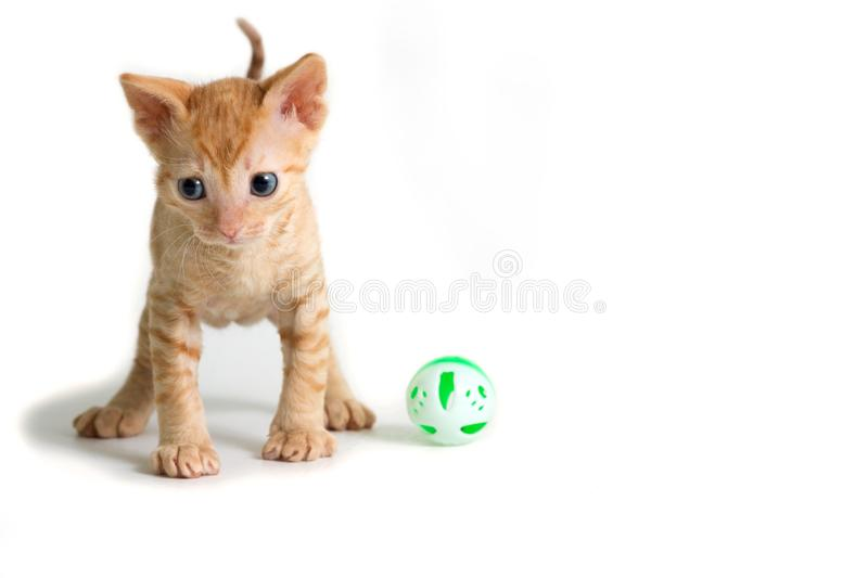 Lovely kinky kitten Ural Rex is right in front of the camera and looking down isolated on a white background. Color Red royalty free stock photo